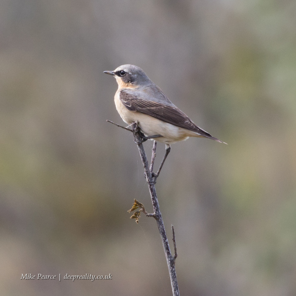 Wheatear, male | SWT Westhay
