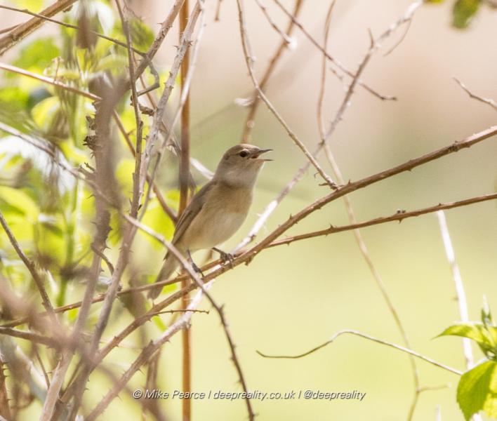 Garden Warbler | RSPB Ham Wall