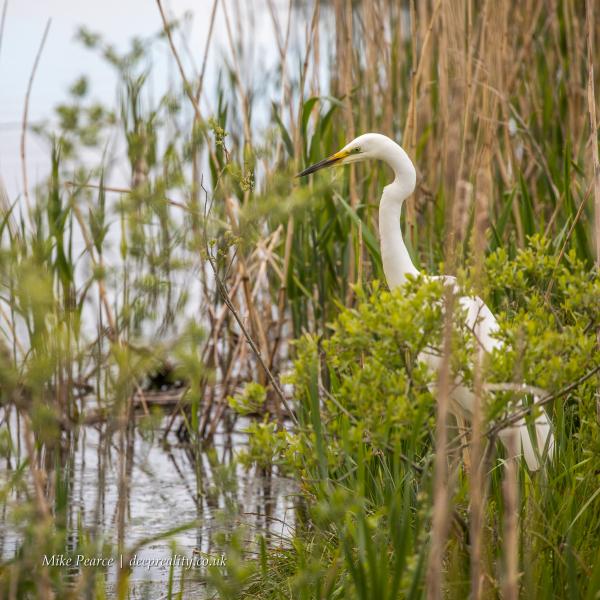 Great white egret | Shapwick Heath NNR