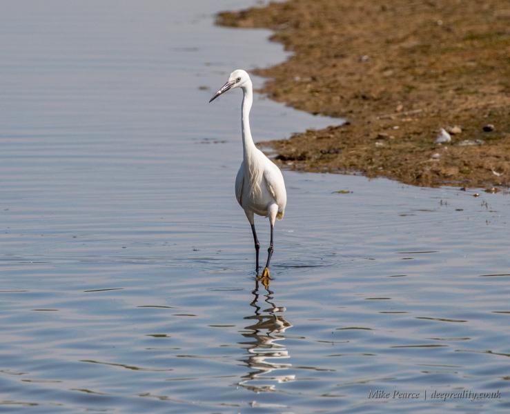 Little white egret | Seaton Wetlands
