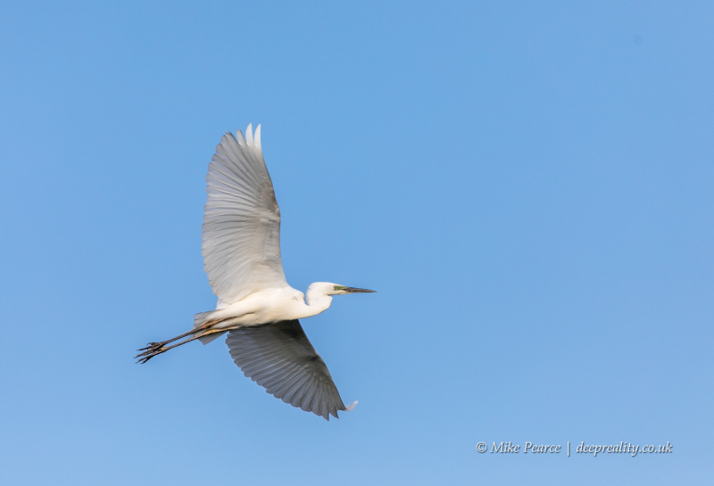 Great white egret | RSPB Ham Wall