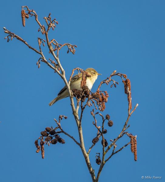 Willow warbler | RSPB Ham Wall