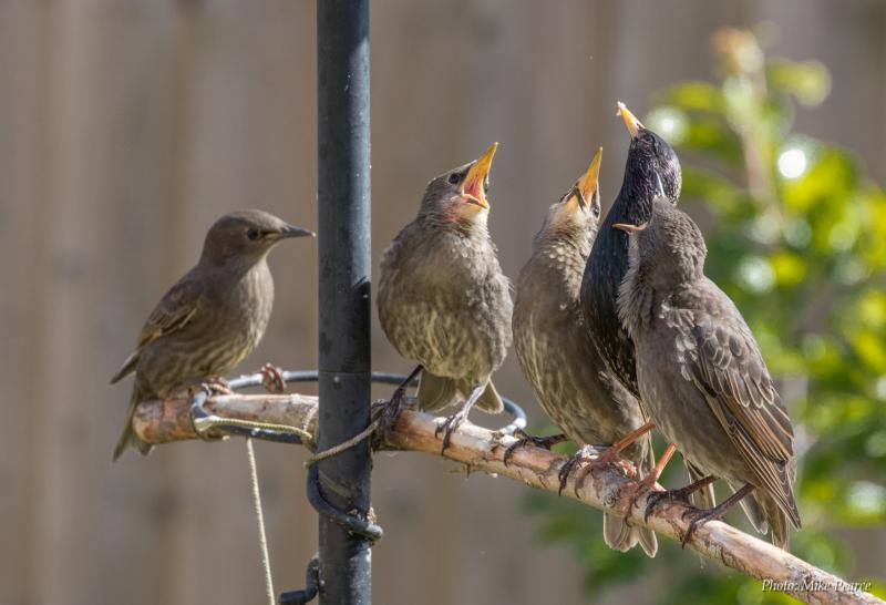 Starling, adult feeding juveniles