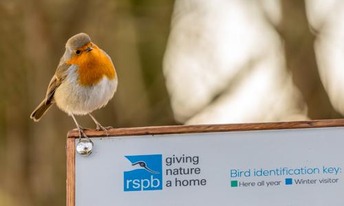 Robin at RSPB Ham Wall